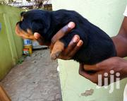 Baby Male Purebred Rottweiler | Dogs & Puppies for sale in Greater Accra, Tema Metropolitan