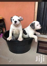 Young Female Purebred Bulldog | Dogs & Puppies for sale in Greater Accra, Dansoman