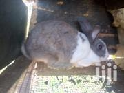 Rabbits For Sale At Benito Farms | Other Animals for sale in Eastern Region, Kwahu West Municipal