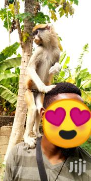 Tamed Monkey For Sale | Other Animals for sale in Greater Accra, Dansoman