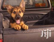 Baby Male Purebred German Shepherd Dog | Dogs & Puppies for sale in Greater Accra, Ga West Municipal