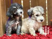 Young Female Purebred Poodle | Dogs & Puppies for sale in Eastern Region, Asuogyaman