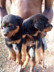 Baby Male Purebred Rottweiler | Dogs & Puppies for sale in Greater Accra, East Legon