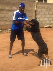 Adult Male Purebred Rottweiler | Dogs & Puppies for sale in Greater Accra, Adenta Municipal