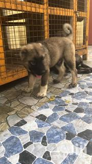 Young Male Purebred Caucasian Shepherd Dog | Dogs & Puppies for sale in Greater Accra, Dansoman