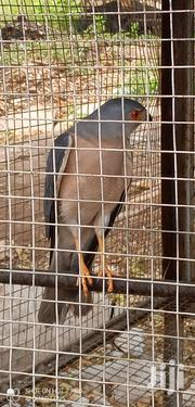 Black Winged Kite Bird | Birds for sale in Greater Accra, Tema Metropolitan