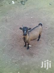 Goat For Sale | Other Animals for sale in Northern Region, Kpandai