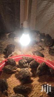 Day Old Quails Chicks For Sale At Affordableprices | Livestock & Poultry for sale in Ashanti, Kumasi Metropolitan