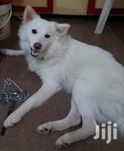Baby Male Purebred Samoyed   Dogs & Puppies for sale in Greater Accra, Airport Residential Area