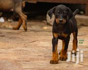 Baby Male Mixed Breed Doberman Pinscher   Dogs & Puppies for sale in Greater Accra, Airport Residential Area