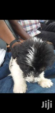 Baby Male Purebred Maltese | Dogs & Puppies for sale in Greater Accra, East Legon (Okponglo)