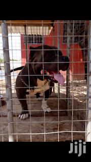 Adult Male Purebred Bull Terrier | Dogs & Puppies for sale in Greater Accra, Ga West Municipal