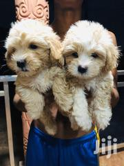 Baby Male Purebred Poodle | Dogs & Puppies for sale in Western Region, Wassa West