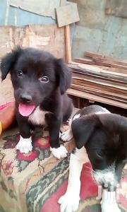 Baby Male Mixed Breed | Dogs & Puppies for sale in Greater Accra, Achimota