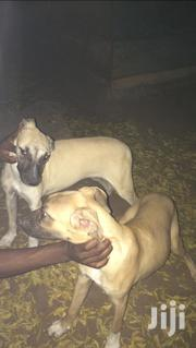 Baby Female Mixed Breed German Shepherd Dog | Dogs & Puppies for sale in Greater Accra, Tema Metropolitan