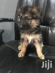 Young Male Purebred German Shepherd Dog | Dogs & Puppies for sale in Greater Accra, Tema Metropolitan