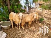 Sheep For Selling | Other Animals for sale in Northern Region, Yendi