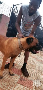 Senior Male Purebred Mastiff | Dogs & Puppies for sale in Brong Ahafo, Sunyani Municipal