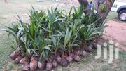 Hybrid And Dwarf Coconut Seedlings | Feeds, Supplements & Seeds for sale in Greater Accra, Dzorwulu