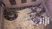 Royal Python Snake For Sale | Reptiles for sale in Greater Accra, Dansoman