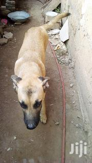Young Female Mixed Breed German Shepherd Dog | Dogs & Puppies for sale in Greater Accra, Ga East Municipal