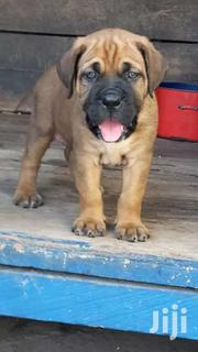 Bull Mastiff Puppy | Dogs & Puppies for sale in Greater Accra, Nungua East