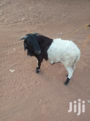 Sheep For Sale | Livestock & Poultry for sale in Northern Region, Kpandai