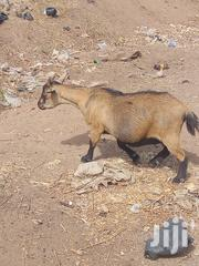 Goat For Sell | Other Animals for sale in Northern Region, Zabzugu/Tatale