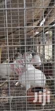 Rabbits For Breeding | Other Animals for sale in Ga West Municipal, Greater Accra, Ghana