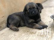 Baby Female Mixed Breed Caucasian Shepherd Dog | Dogs & Puppies for sale in Greater Accra, Adenta Municipal