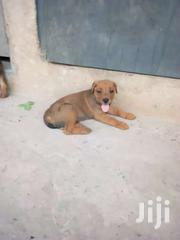 Rotwiller Mix Puppies For Sell | Dogs & Puppies for sale in Western Region, Wassa West