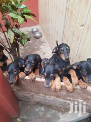 Baby Female Mixed Breed Doberman Pinscher | Dogs & Puppies for sale in Greater Accra, East Legon