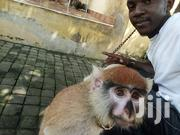 1 Year Old Male Monkey For Sale At Affordable Price | Other Animals for sale in Greater Accra, Achimota