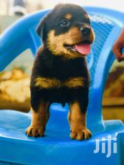 Baby Male Purebred Rottweiler | Dogs & Puppies for sale in Greater Accra, Ledzokuku-Krowor