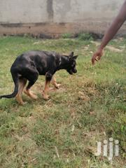 Young Female Purebred German Shepherd Dog | Dogs & Puppies for sale in Greater Accra, Adenta Municipal