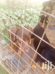 Young Female Purebred Doberman Pinscher | Dogs & Puppies for sale in Greater Accra, Teshie new Town