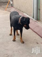 Adult Female Mixed Breed Rottweiler | Dogs & Puppies for sale in Greater Accra, Mataheko