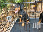 Baby Male Purebred Doberman Pinscher   Dogs & Puppies for sale in Greater Accra, Tema Metropolitan