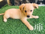 Baby Female Mixed Breed Maltese | Dogs & Puppies for sale in Greater Accra, Tema Metropolitan