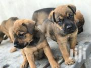 Baby Female Purebred Boerboel | Dogs & Puppies for sale in Greater Accra, Tema Metropolitan