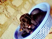 Baby Female Purebred Doberman Pinscher | Dogs & Puppies for sale in Greater Accra, Accra Metropolitan