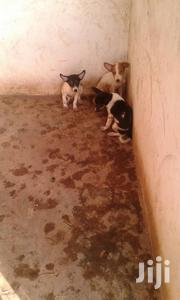 Baby Male Mixed Breed Mongrel (No Breed) | Dogs & Puppies for sale in Greater Accra, Kwashieman