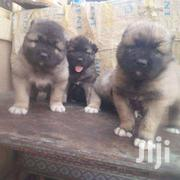 Pure Caucasian Pups For Sale | Dogs & Puppies for sale in Greater Accra, Teshie-Nungua Estates