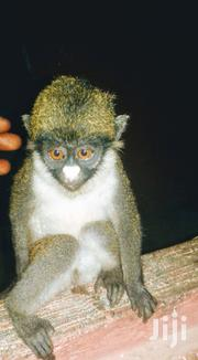 Monkey For Sale | Other Animals for sale in Central Region, Komenda/Edina/Eguafo/Abirem Municipal