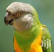Tamed Male Parrot | Birds for sale in Greater Accra, Odorkor