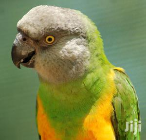 Tamed Male Parrot