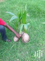Buy Your Coconut Seedlings And Fruits Here | Feeds, Supplements & Seeds for sale in Greater Accra, Asylum Down