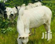 Cattle For Sale | Other Animals for sale in Northern Region, Gushegu