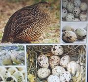 Quail Eggs For Sale | Livestock & Poultry for sale in Greater Accra, Accra Metropolitan