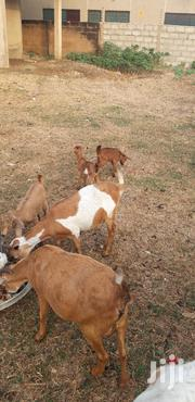 Goat For Sale | Other Animals for sale in Greater Accra, Tema Metropolitan